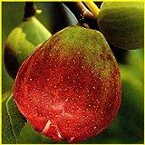 いちじく苗木 日本種(蓬莱柿)