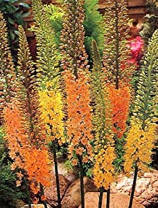 Erfo-Hybrid Foxtail Lily 12 Seeds/Seed