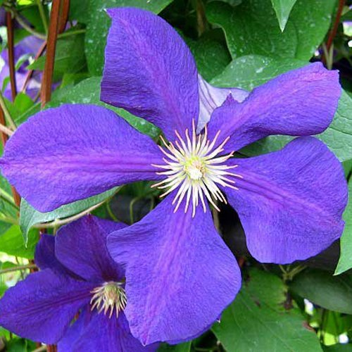 CLEMATIS DOROTHY WALTON-Superb Birthday Gift/ Plant & Flower,Gifts For Mum,Mom,Grandma,Granny,Her