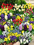 300 MIXED SPRING BULBS-4 MONTHS OF COLOUR !DAFFODIL-TULIP-BLUEBELL-SNOWDROP-CROCUS-IXIA-& MORE-11 VARIETIES-EASY TO GROW
