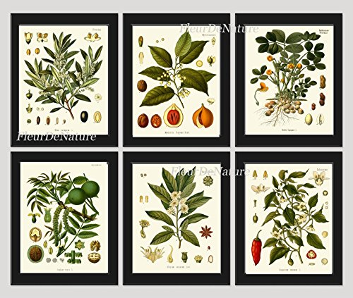 herbs-and-spices-botanical-set-of-6-prints-antique-beautiful-italian-olives-nutmeg-peanuts-walnut-an