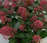 Skimmia japonica 'Rubella' 15 cm Pot Size