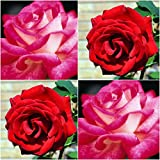 (Combo Of 2 Colors) Floral Treasure Red & Pink Rose Seeds - Pack Of 20