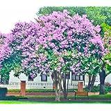 4 Pack Muskogee (Lavender) Crape Myrtle Trees (Color: Lavender)