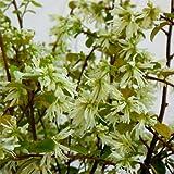 トキワマンサク:白花青葉 樹高1.5m根巻き[庭木・生垣に人気の常緑小高木]