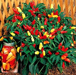 Amazon Com Sweet Pickle Pepper 20 Seeds The Christmas