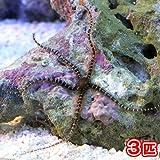 (海水魚 ヒトデ)クモヒトデ ミックス(3匹) 本州・四国限定[生体]