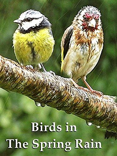 Birds in The Spring Rain