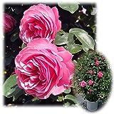 つるバラ:レオナルド ダ ビンチ8号大型アンドン仕立て[返り咲き][アンティークタッチのバラ]