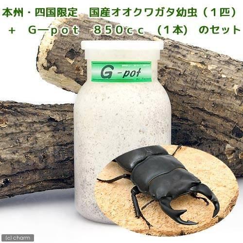 (昆虫)本州・四国限定 国産オオクワガタ幼虫(1匹) + G―pot 850cc 1本(説明書付)