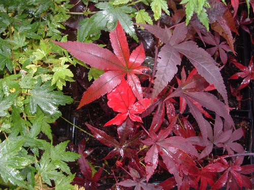 red japanese maple leaves. Emperor One Red Japanese Maple