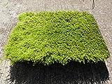 【ハイゴケ 40×35】 苔玉 庭園 テラリウムなどに