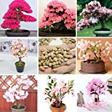 Generic Japanese Sakura Potted 10 PCS 7 Different Varieties Of Garden Seed And Garden Potted Red Pink Cherry Blossoms