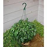 クレマチス:ユンナンエンシス8号吊り鉢仕立て(常緑系・冬咲き)
