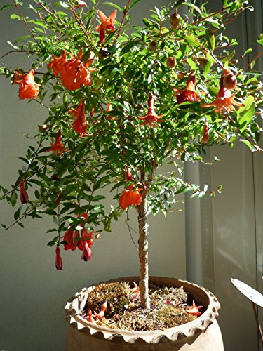 Mature pomegranate tree for sale