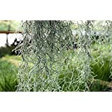 tillandsia ionantha ionantha plante vrac jardin. Black Bedroom Furniture Sets. Home Design Ideas