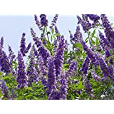 20 Seeds | TEXAS LILAC VITEX TreeNew Variety | LARGER BLOOMS | Hardy to 6