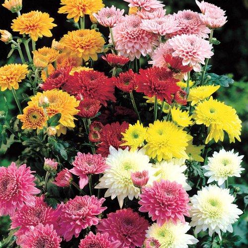 Winterharte pflanzen vergleich winterharte chrysanthemen for Winterharte pflanzen