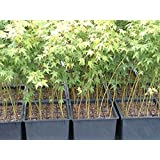 Lot of 10 - Japanese Maple Trees - Acer Palmatum 12-18+ Inches