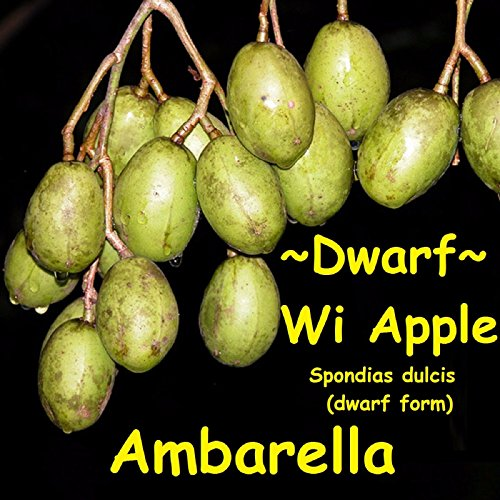 HUGE ! DWARF WI APPLE~Ambarella~ Spondias XL Size Fruit Tree Pot'd PLANT 3-4+ft (Wi Ft compare prices)
