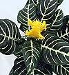 Zebra Plant – Aphelandra – Exotic & U…