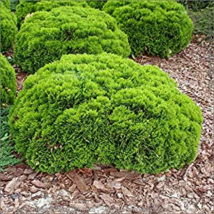 kugel strauch lebensbaum thuja occidentalis 39 danica. Black Bedroom Furniture Sets. Home Design Ideas
