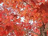 【1年間枯れ保証】【シンボルツリー落葉】モミジバフウ 2.3m露地 2本セット