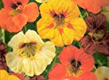 Nasturtium Indian Cress Flower Seeds High-climbing Mix/MULTI-BUY DISCOUNT/An idyllic selection for natural gardens. Climbs up to 200 cm