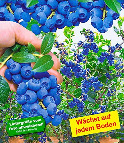 baldur garten trauben heidelbeere 39 reka blue 39 1 pflanze vaccinium corymbosum. Black Bedroom Furniture Sets. Home Design Ideas