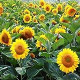 [Free Shipping] 20pcs Garden Ornamental Flower Sunflower Seeds Annual Herb Plant // 20pcs del jardín de flores ornamentales de girasol semillas de la planta anual herbácea