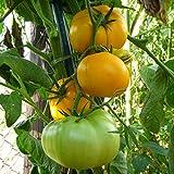 10 Samen Brandywine gelb Tomate - Fleischtomate