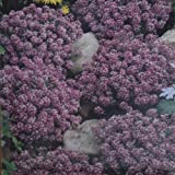 Alyssum Royal Carpet - 1 pack of seeds