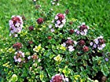 Mosquito Repelling Creeping Lemon Thyme Plant - FANTASTIC! - 3&quot; Pot