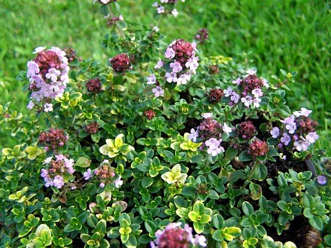 Mosquito Repelling Creeping Lemon Thyme Plant - FANTASTIC! - 3