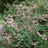 Maiblumenstrauch rosa blühend