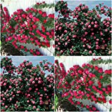 (Combo Of 2 Colors) Floral Treasure Red & Pink Climbing Rose Seeds - Pack Of 20