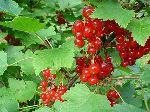 * RED CURRANT BERRY BUSH *Rare*SHOWY*Ornamental*E-Z GRO*15 seeds*FRUITS* #1223 (Berry Bush compare prices)