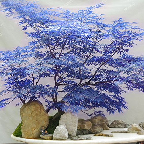 Blue Maple Seeds Maple Seeds Bonsai Tree Plants Potted Garden Japanese Maple Seeds 10 Pieces / Lot