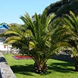 Pair of Hardy Phoenix Palm tres 80-100cm tall