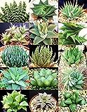 182.幾何学的で整った株姿になるのが魅力のハオルチア。(Haworthia mix 10粒) [並行輸入品]