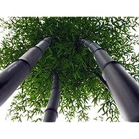 Giant Black Bamboo - Phyllostachys nigra - 4