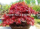 20ミニ日本赤もみじ種子、美しい盆栽種子、FRESH MAPLE種子、家庭プラントのSementes種子、