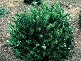 'Densa' Inkberry Holly Shrub - Ilex - Hardy Evergreen - 4