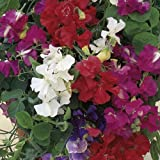 1 X PACK SWEET PEA PATIO MIXED FLOWER SEEDS GROWING HOME GARDEN FLOWERS