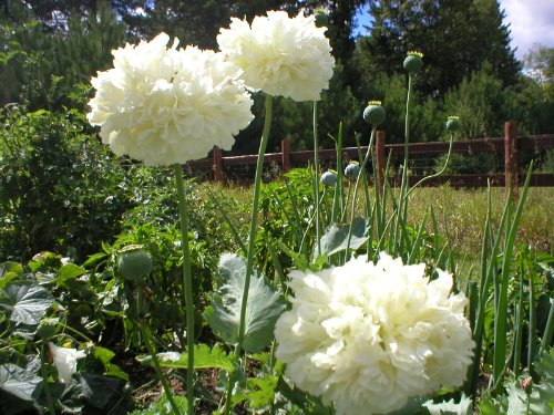 500 Poppy Flower Seeds. White Cloud Peony Poppies. Papaver.