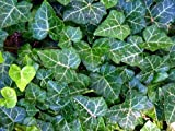 Amazon / Hirts: Vines & Groundcovers: English Ivy 48 Plants - Hardy Groundcover - Sun or Shade - 2 1/4 Pot