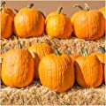Package of 100 Seeds, Connecticut Fields Pumpkin (Cucurbita pepo) Non-GMO Seeds by Seed Needs by Seed Needs
