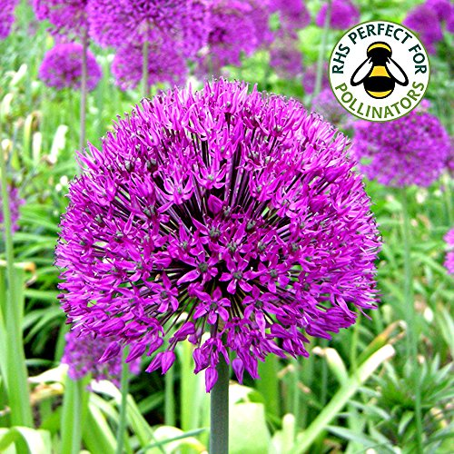 ALLIUM-PURPLE-SENSATION-DUTCH-GARLIC-SPRING-FLOWERING-BULBS