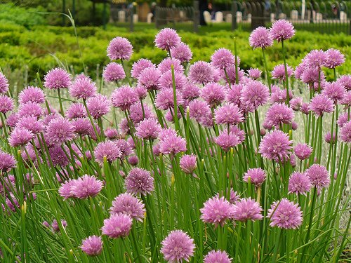 Garden Herb Chives 100 Seeds, 550 Mg