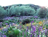 Search : California Wildflower Mix 1,000+ Seeds